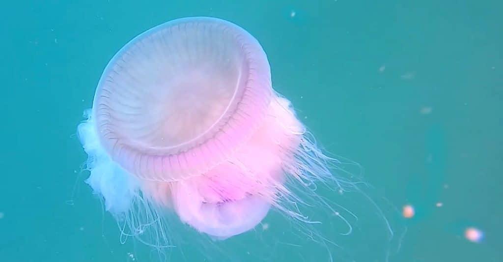 9 de cada 10 playas barcelonesas, con bandera amarilla por la presencia de medusas
